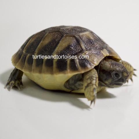 Eastern Hermanns Tortoise (Testudo hermanni boettgeri)