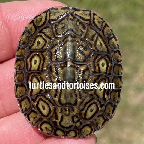 Central American Ornate Wood Turtles (Rhinoclemmys p. manni)