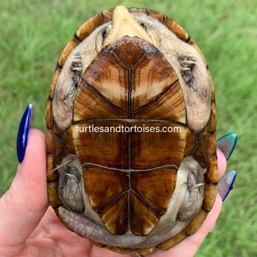 Florida Mud Turtles (Kinosternon steindachneri)