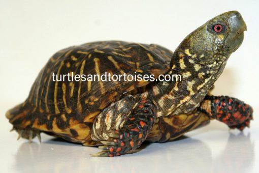 Ornate Box Turtles (Terrapene ornata ornata) Male
