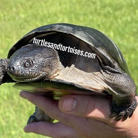 West African Sideneck Turtles (Pelusios castaneus)