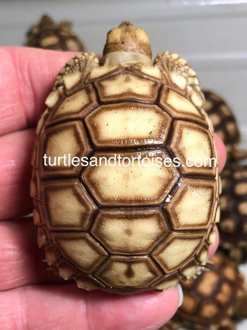 Sudanese Sulcata Tortoises (Centrochelys sulcata)