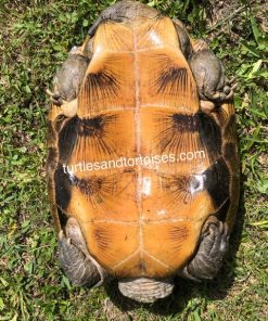 Asian Wood Turtles (Heosemys grandis)