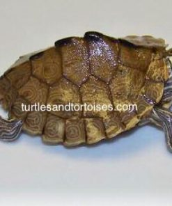 Mississippi Map Turtles (Graptemys pseudogeographica kohni)