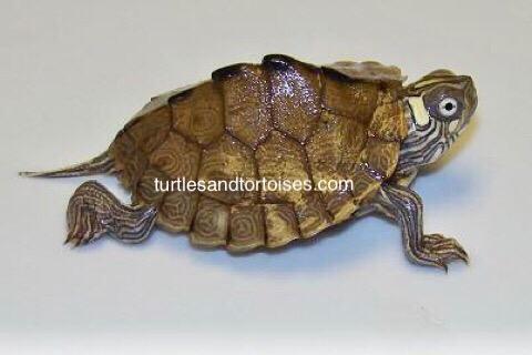 Mississippi Map Turtles (Graptemys pseudogeographica kohni)