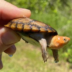 Red Cheek Mud Turtles (Kinosternon scorpioides cruentatum)