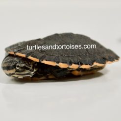 Cotinga River / Peter's Sideneck Turtle