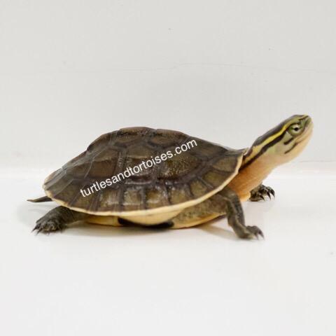Sulawesi Lowland Box Turtles (Cuora amboinensis amboinensis)
