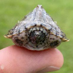 Razorback Musk Turtles (Sternotherus carinatus)