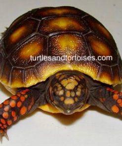 Northern Red Foot Tortoises (Chelonoidis carbonaria)