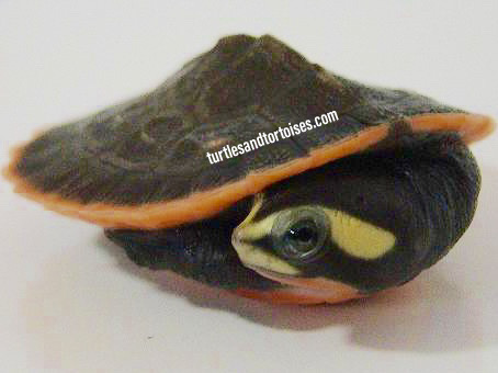 Pink Belly Sideneck Turtles (Emydura subglobosa)