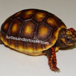 Northern Red Foot Tortoises (Chelonoidis carbonaria)