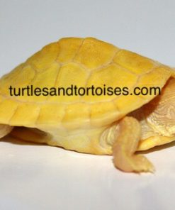Albino Red Ear Sliders (Trachemys scripta elegans)