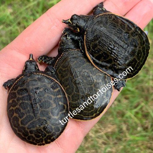 Florida Softshell Turtles (Apalone ferox)