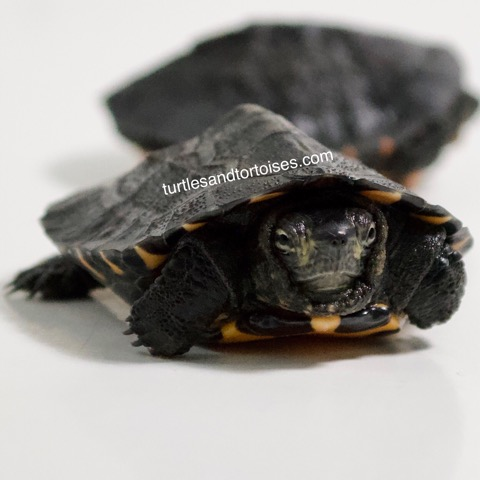 Kwangtung River Turtles (Mauremys nigricans)
