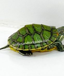 Possible Het Albino ALLISON LINE Red Ear Sliders (Trachemys scripta elegans)