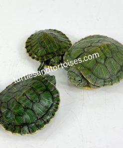 Possible Het Albino CLIVE LINE Red Ear Sliders (Trachemys scripta elegans)