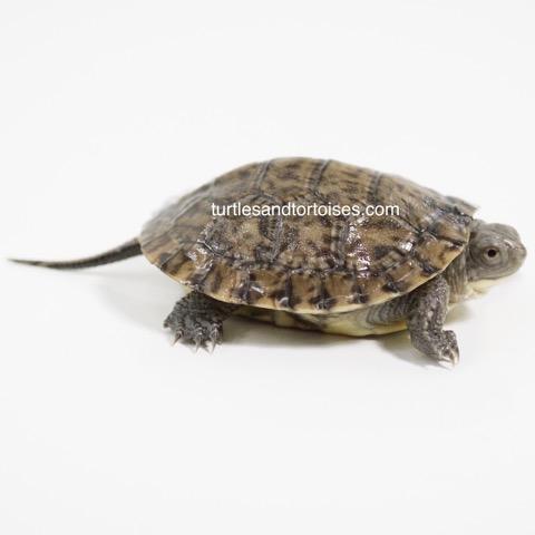 Blanding's Turtle (Emydoidea blandingii)
