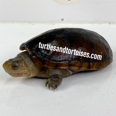Florida Mud Turtles (Kinosternon steindachneri)