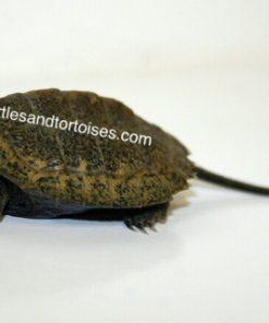Japanese Pond Turtle