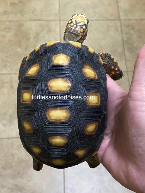Venezuelan Red Foot Tortoises (Chelonoidis carbonaria)