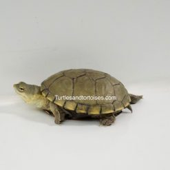 Yellow Mud Turtles (Kinosternon flavescens)