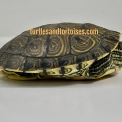 Mexican Ornate Sliders (Trachemys venusta venusta)