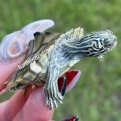 Yellow Blotched Map Turtle (Graptemys flavimaculata)