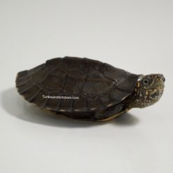 Sri Lankan Black Pond Turtle (Melanochelys trijuga thermalis)