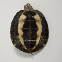 Sri Lankan Black Pond Turtle (Melanochelys trijuga thermalis)