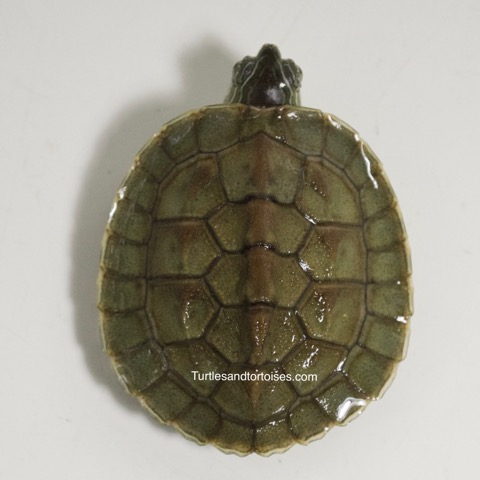 Chinese Golden Thread Turtles (Mauremys sinensis)