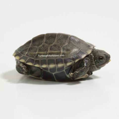 Reeves Turtles (Chinemys reevesii)