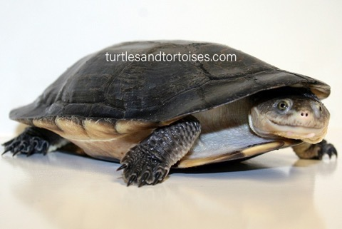 Gibba Toad Head Turtle (Mesoclemmys gibbus)
