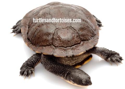 Eastern Australian Snakeneck Turtles (Chelodina longicollis)