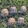 Russian Tortoises (Agrionemys horsefieldii)