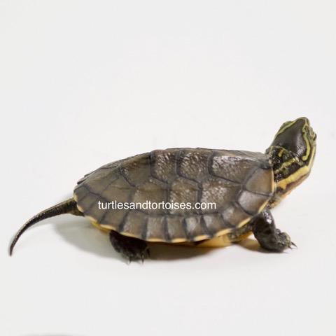 Vietnamese/Annam Pond Turtles (Mauremys annamensis)