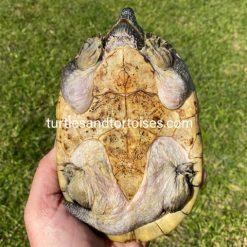 Mexican Giant Musk Turtles (Staurotypus triporcatus)
