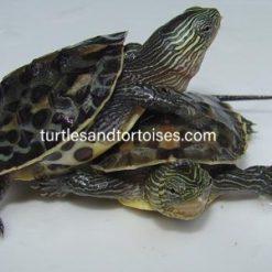 Chinese Golden Thread Turtles (Mauremys sinensis)
