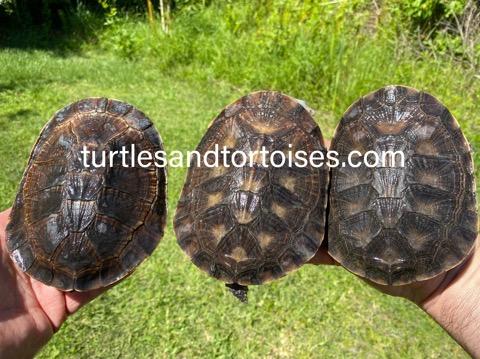 Tuberculate Toad-headed Turtle (Batrachemys tuberculatus)