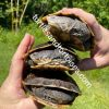 Tuberculate Toad-headed Turtle (Batrachemys tuberculatus)