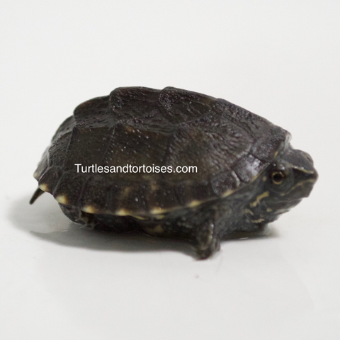 Common Musk Turtles (Sternotherus odoratus)