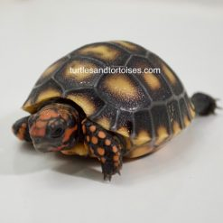 Brazilian Cherry Head Red Foot Tortoises (Chelonoidis carbonaria)