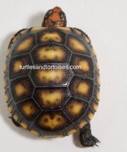 Brazilian Cherry Head Red Foot Tortoises (Chelonoidis carbonaria)