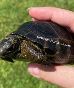 Aldabra Tortoises (Geochelone gigantea)