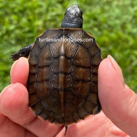 Bangladesh Black Turtle (Melanochelys trijuga indopeninsularis)