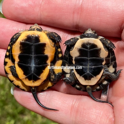 Spotted Turtles (Clemmys guttata)