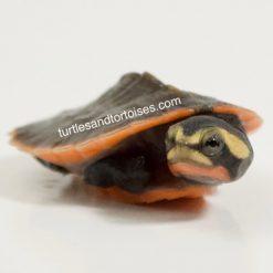 Possible Heterozygous for albino Pink Belly Sideneck Turtles (Emydura subglobosa)