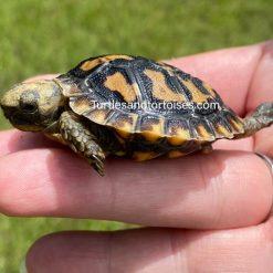 Pancake Tortoises (Malacochersus tornieri)