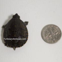 Common Musk Turtles (Sternotherus odoratus)