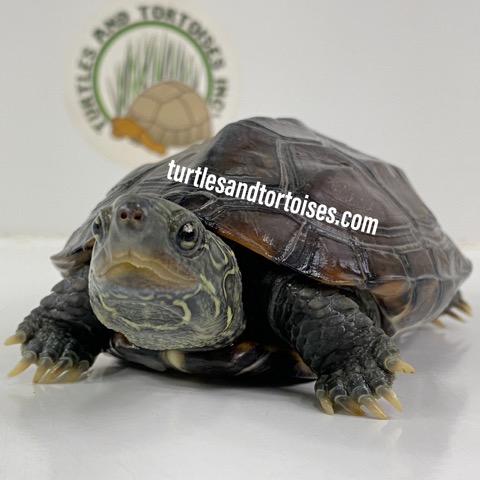 Reeves Turtles (Chinemys reevesii) Female